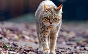فيديو.. تهجين سلالة من القطط تشبه الإنسان