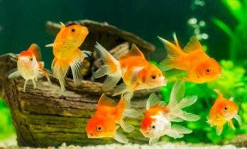 دراسة تنصح بأسماك الزينة.. وهذا السبب
