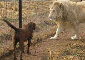 سابقة في عالم الحيوان.. كلب يهاجم أسداً ويهزمه