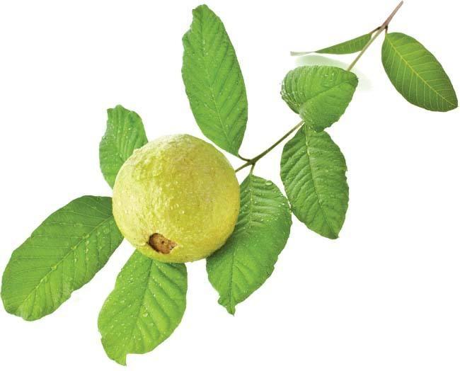 ماذا يحدث لجسمك عند تناول أوراق الجوافة؟
